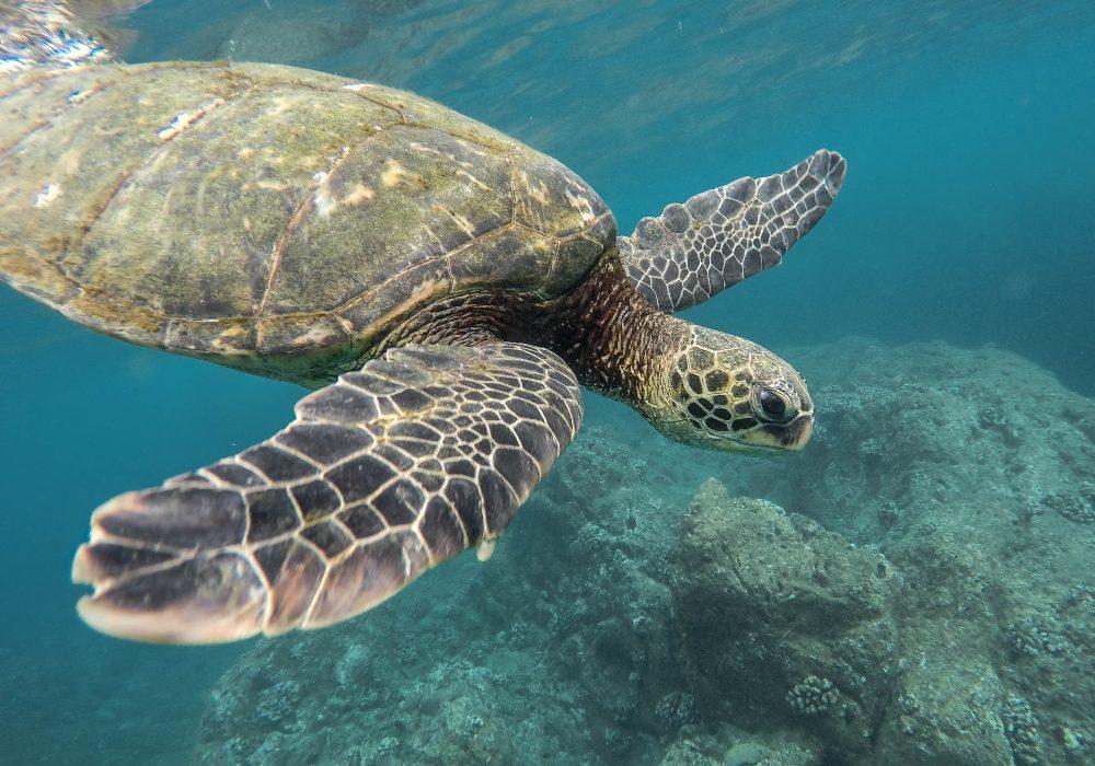 Hawaii_Wildlife_Turtle